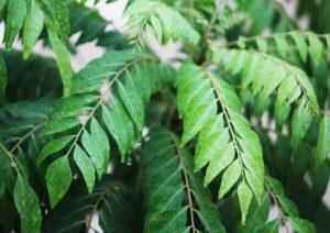 feuille de l'arbre à curry le kaloupilé - épices du monde