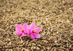 graines de cumin - achat, utilisation, bienfaits- épices du monde